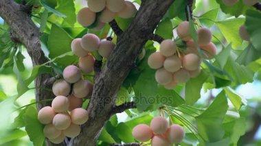 Ginkgo nuts with cicadas buzz