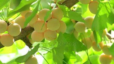 Ginkgo tree with Ginkgo nuts