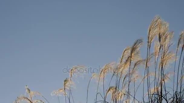 Tokio, Japonsko-prosinec 11, 2017: Miscanthus sinensis (Japanese Silver Grass) jsou skvělé Okrasné trávy. V Japonsku, to je považován za kultovní rostlina Pozdní léto a brzký podzim, známý jako susuki