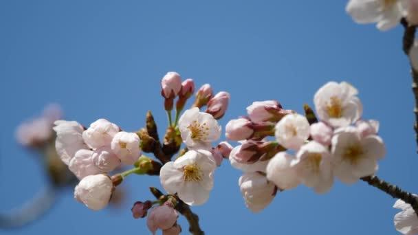 Tokio, Japonsko-březen 23, 2018: Třešňové květy nebo sakura budou brzy dosáhne plném květu.