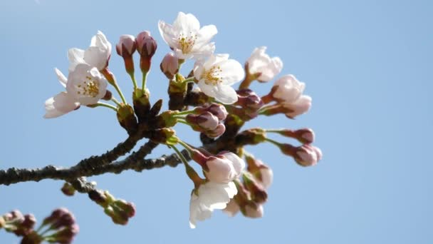 Tokio, Japonsko-březen 23, 2018: Třešňové květy nebo sakura budou brzy dosáhne plném květu