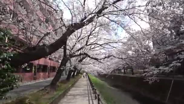 Tokyo, Japan-March 26, 2018: (time-lapse)Walking along a river under cherry blossoms or Sakura in full bloom