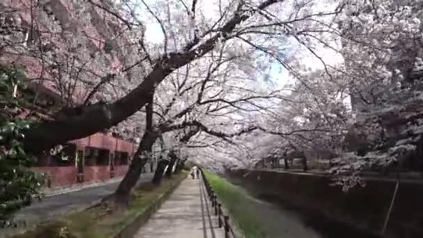 Tokio, Japonsko-březen 26, 2018: (time-lapse) procházky podél řeky pod Sakura nebo třešňových květů v plném květu