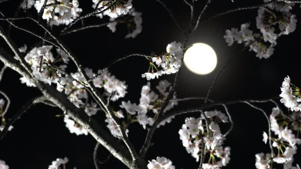 Tokyo, Japan-March 28, 2018: Cherry blossoms or Sakura in full bloom under the moon