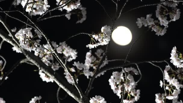 Tokio, Japonsko-březen 28, 2018: Třešňové květy nebo Sakura v plném květu za měsíc