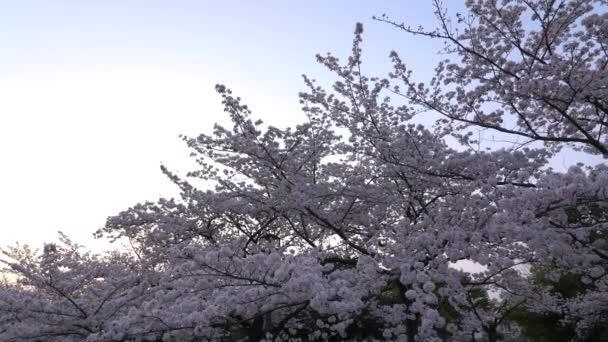 Tokyo, Japan-March 29, 2018: Cherry blossoms or Sakura in full bloom toward evening
