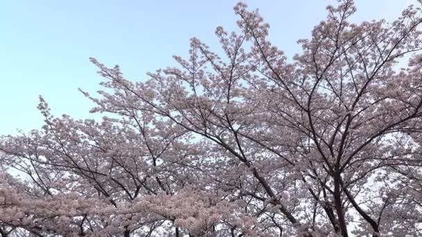 Tokyo, Japán-március 29, 2018: Cseresznye virágok vagy Sakura teljes virágzás, este felé