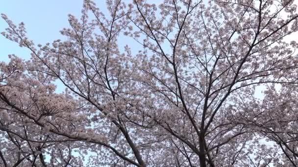 Tokio, Japonsko-březen 29, 2018: Třešňové květy nebo Sakura v plném květu k večeru