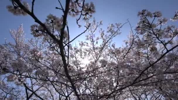 Tokio, Japonsko-Březen 30, 2018: Třešňové květy nebo Sakura v plném květu proti slunci