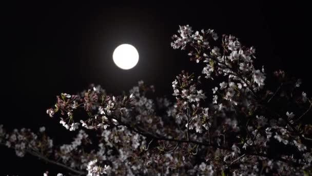 Tokio, Japonsko-Březen 30, 2018: Třešňové květy nebo Sakura v plném květu pod měsícem. Měsíce věku je 13