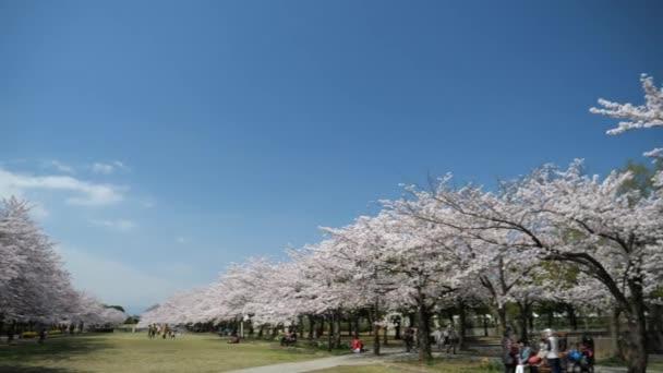 Tokio, Japonsko-Březen 30, 2018: (časová prodleva) (panorama) Cherry blossoms nebo Sakura v plném květu v Takarano parku, Tama, Tokyo