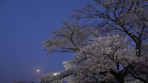 Tokyo, Japan-April 1, 2018: Cherry blossoms or Sakura in full bloom  with birds tweet at dawn