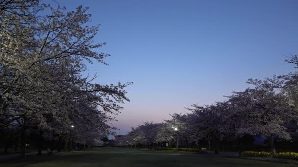 Tokio, Japonsko-duben 1, 2018: Třešňové květy nebo Sakura v plném květu s ptáky pípání za svítání