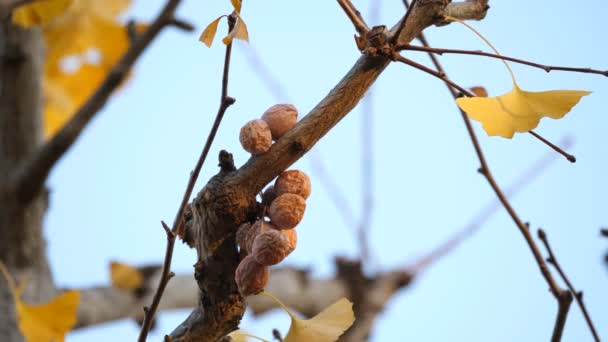 Tokyo,Japan-November 29, 2019: Old gingko nuts still left on a branch in the winter morning