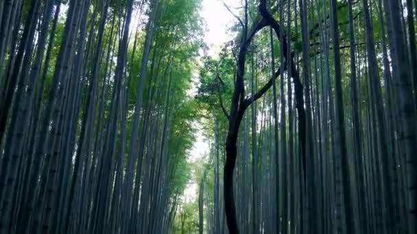 Kyoto,Japan-February 24, 2020: Bamboo grove path in the winter morning in Arashiyama, Kyoto