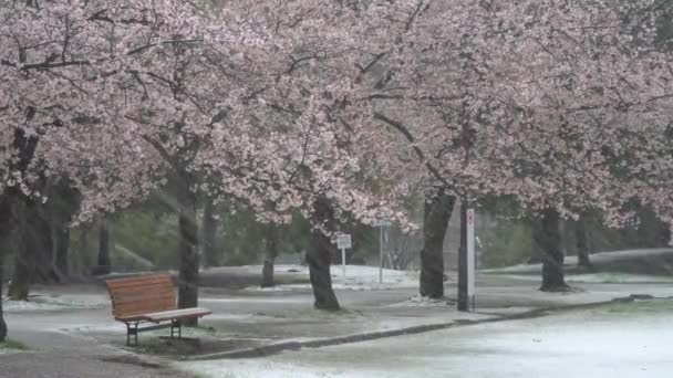 Tokio, Japonsko-29. března 2020: Lavičky pod třešňovými květy v hustém sněhu v Tokiu.