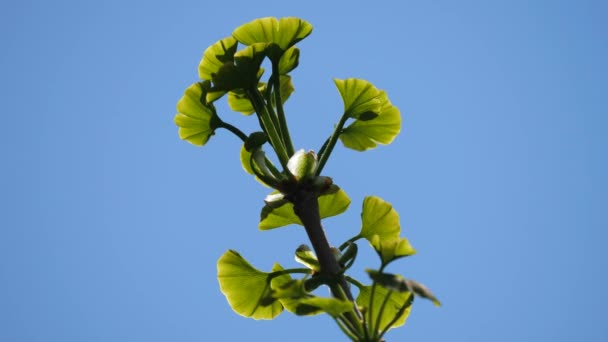 Tokyo,Japan-April 11, 2020: Young gingko leaves under blue sky in spring