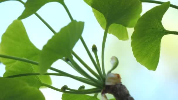 Tokyo,Japan-April 19, 2020: Female flower or Pistillate flower of gingko tree under blue sky in spring