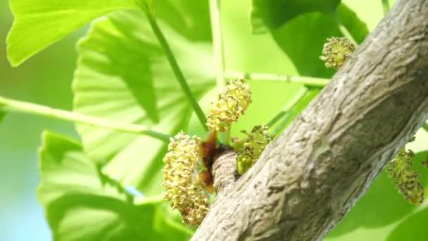 Tokyo,Japan-April 19, 2020: Male flower or Staminate flower of gingko tree under blue sky in spring