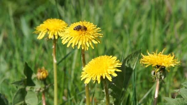 včela shromažďuje pyl