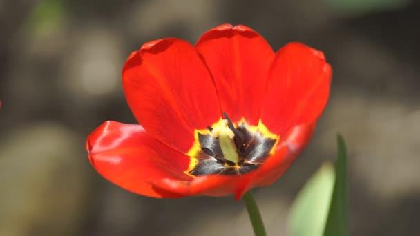 Květina Tulipán na jaře