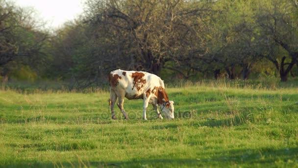 Giovane vitello nel prato