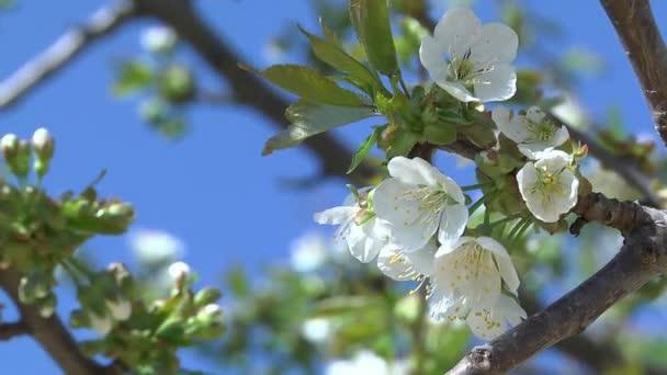 virágok cseresznye fa