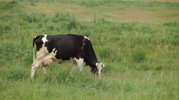 Kráva se páslo na louce