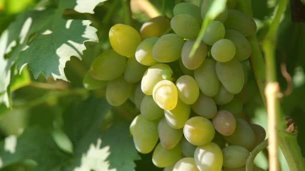 fürtöket szőlő a szőlő