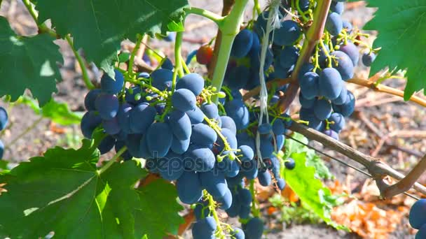 Bunches of grapes on the vine