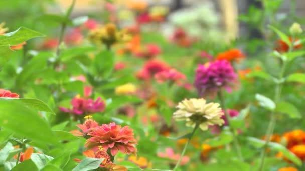 Červené květy sedmikrásky
