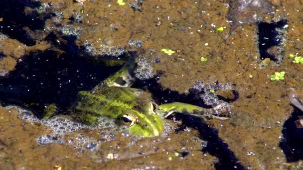 Frosch grün Marsh A riesige Kröte sitzen im Sumpf aalt sich in der Sonne