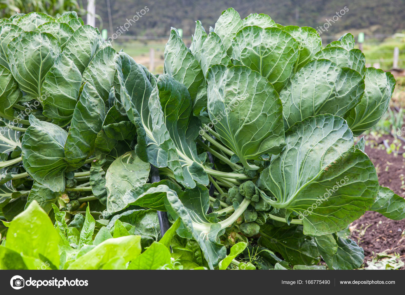 Pianta Cavolini Di Bruxelles brussels sprouts plant at cultivation field — stock photo