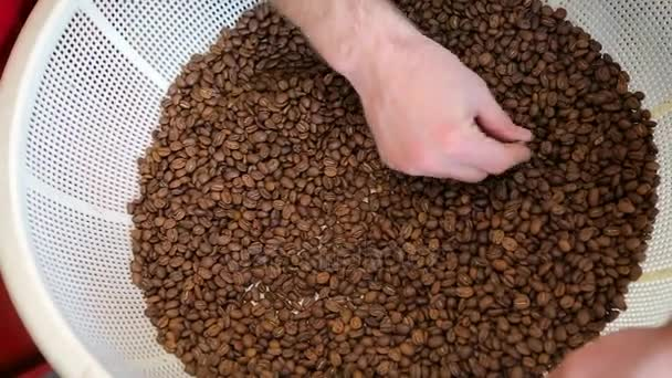 Aromatic roasted coffee beans being checking by professional barista. The freshly roasted coffee beans in white basket. Barista checks the quality of coffee beans