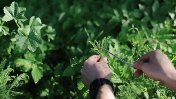 Man Hands Picking Up. Collect Fresh Herb. Plant in the Garden. Concept: Spring Gardening, Farmer, Organic Fresh Food