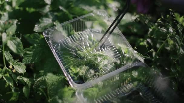 Sklizeň zeleně z pole. Čerstvě sklizené bylinky v malé průhledné nádobě. Zemědělci sklízejí čerstvé byliny pinzetami na poli ekologické ekologické farmy. Pracovní proces. Koncept sklizně.