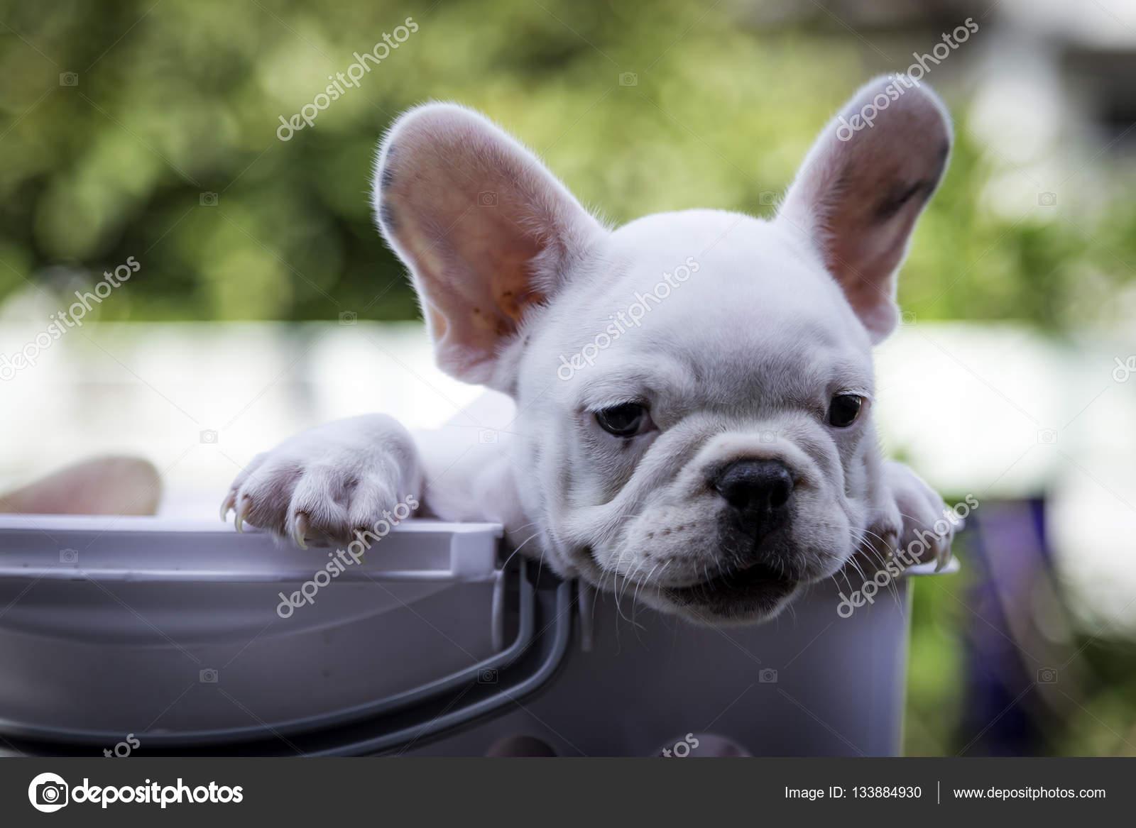 Baby French Bulldog Stock Photo Teerawutbunsomyahoocom 133884930