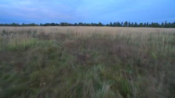 Letecký pohled. Let v večer nad bílým trávy. 4k