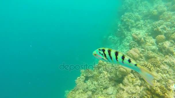 Scenérie oceánu na mělký korálový útes. Podvodní video z oceánu. Malé ryby plavat chaoticky a skryté od řas. Barevné korály a ryby v Maledivách.