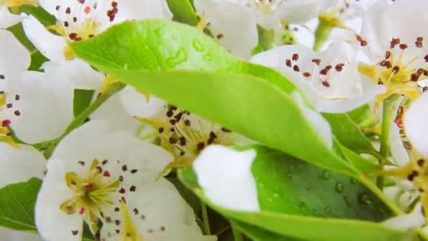 Pear Blossom se otočí na bílém pozadí s kapkami rosy. Video 360