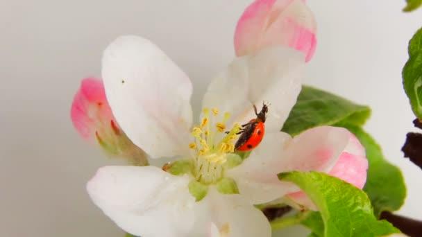 Beruška na květu apple otočení na bílém pozadí. Video 360