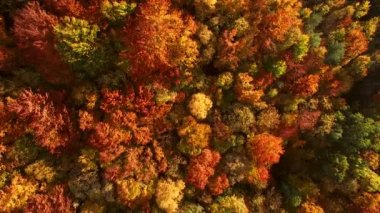 Looking down on amazingly beautiful autumn colors,forests,trees, aerial drone flyover view.