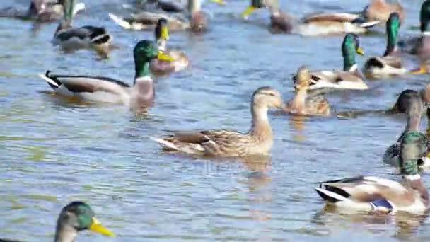 Plovoucí kachny a krmení v rybníku