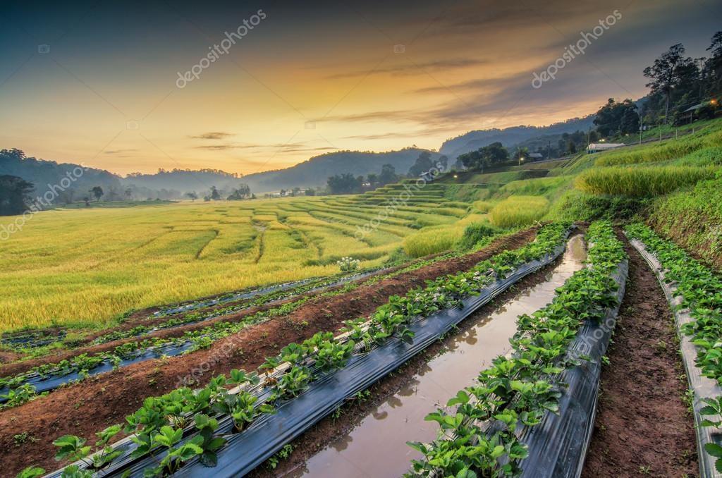 fattoria fragola, terrazze di riso — Foto Stock © sushi7688 #128478838
