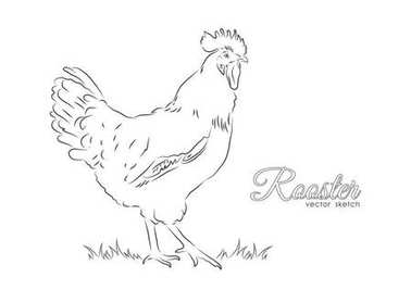 Hand drawing cock isolated on white background. Line design. Rooster sketch.