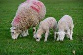 Fotografie Roztomilé bílé jehňata ovce pasoucí se zelené trávy
