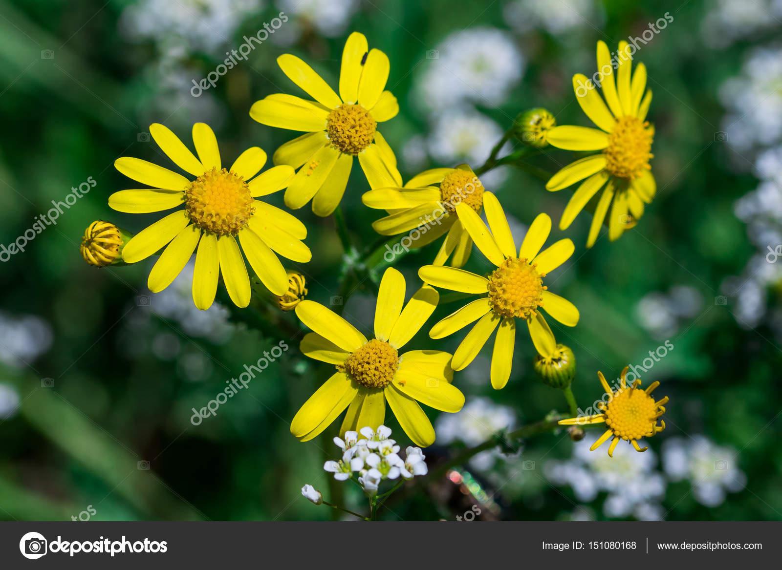 Wild Spring Yellow Flower Plant Cressleaf Packera Glabella