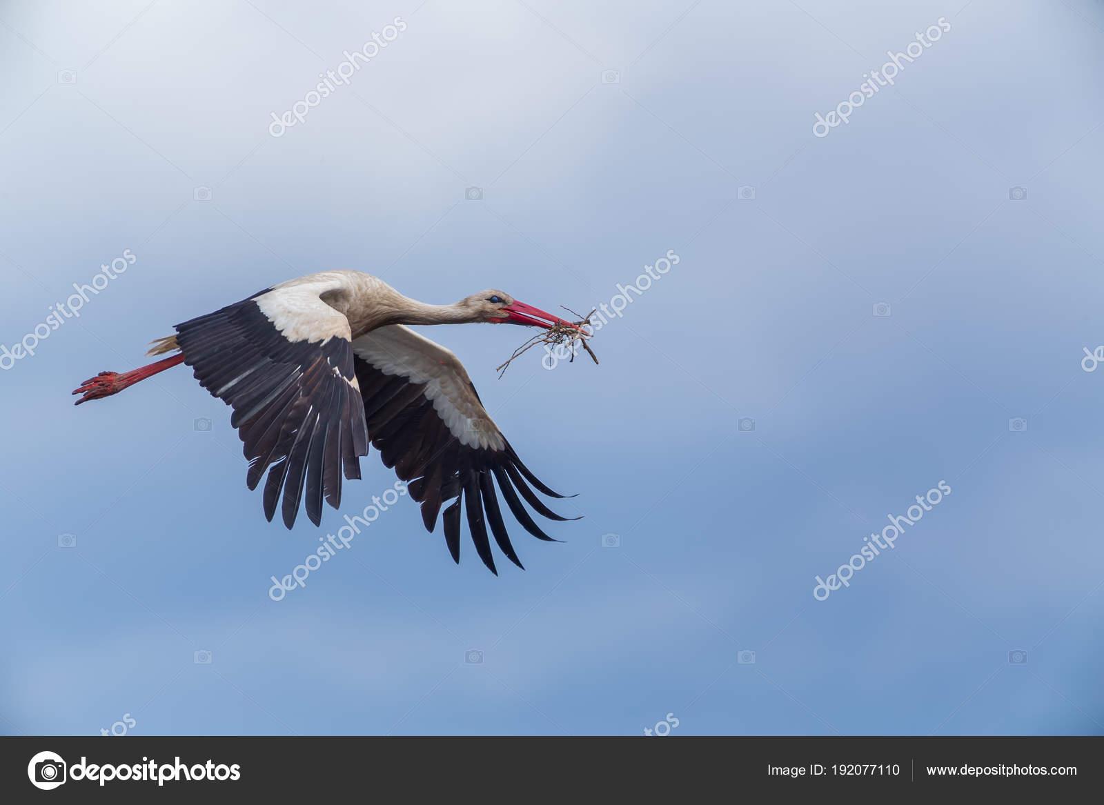 cegonha voando para o ninho com galhos em vitoria stock photo