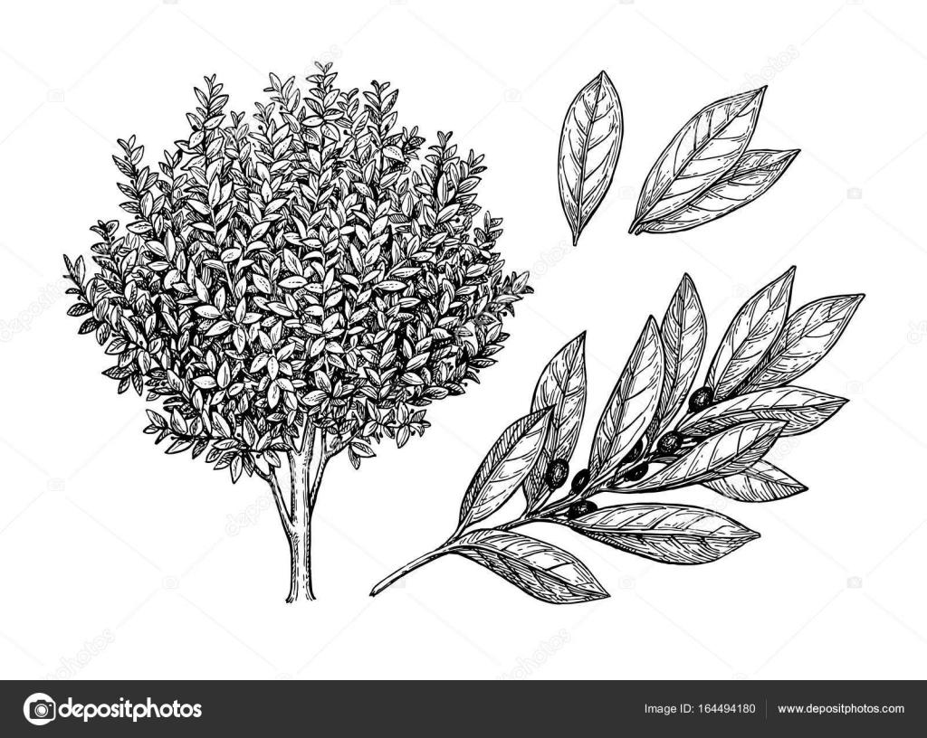 Hojas, Rama Y árbol Del Laurel De La Bahía