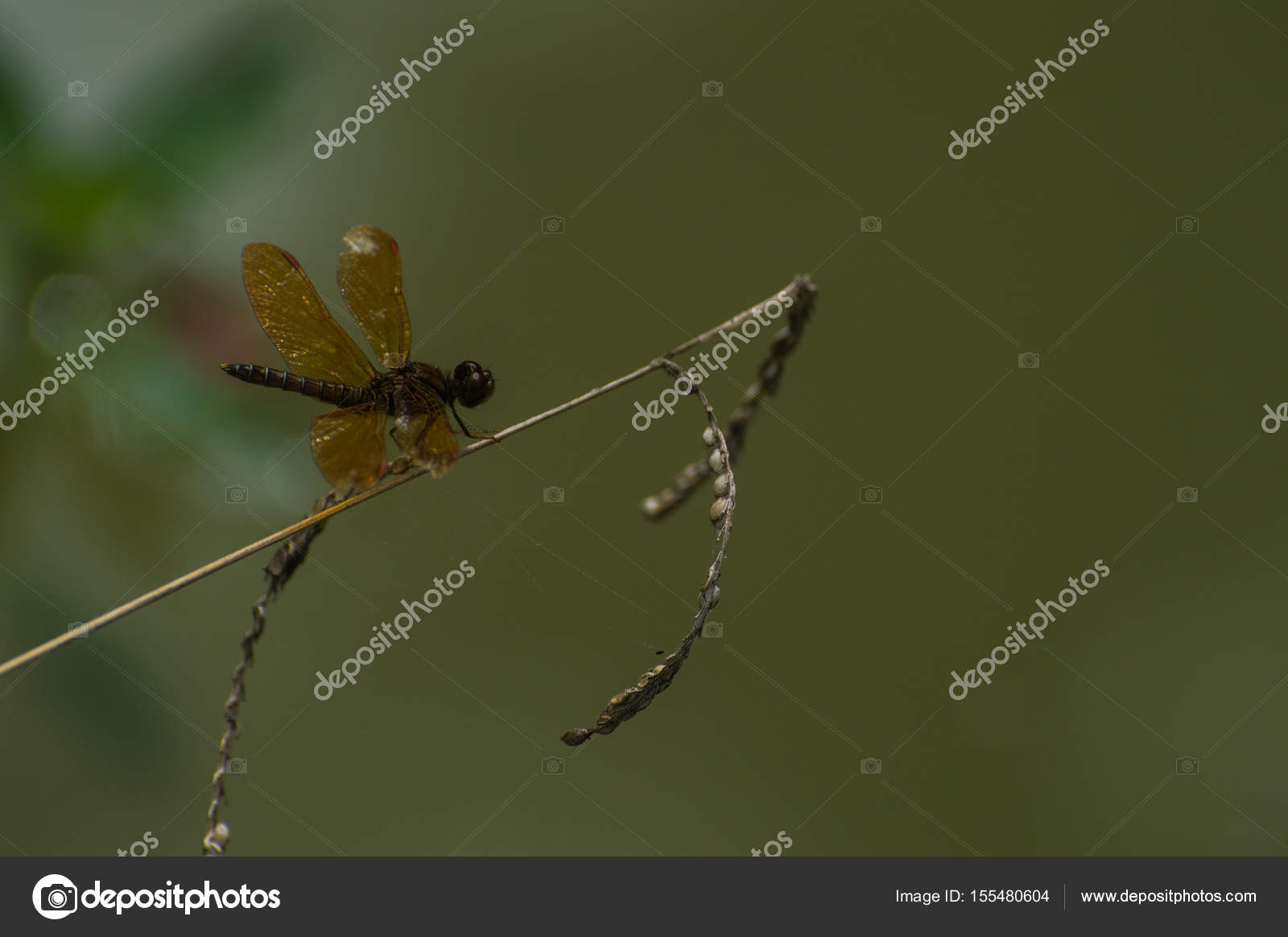 insecte avec corps en couleur et ailes brun doré — photographie